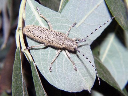S.similis