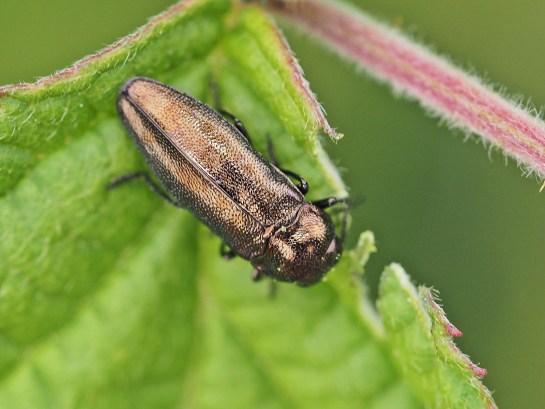 Agrilus species