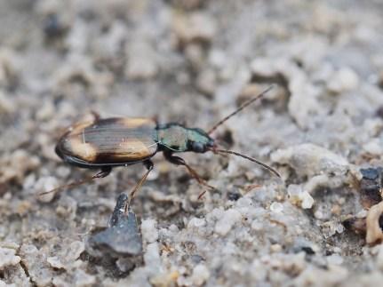 O.femoratus