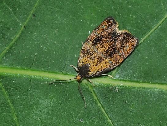 P.lecheana