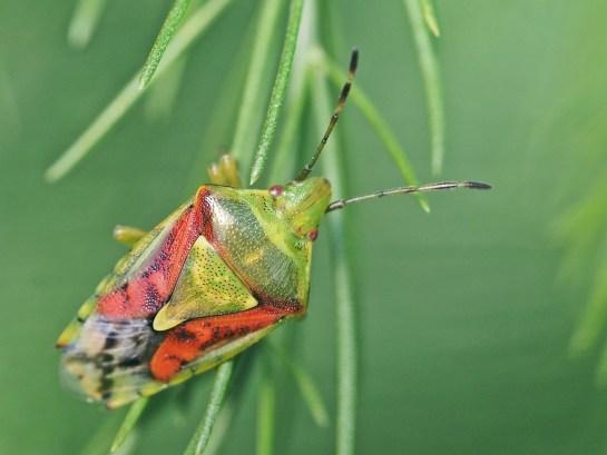 C.tristriatus