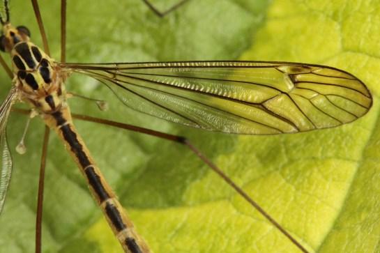N.quadristriata.