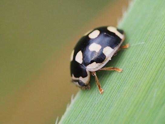 P.quatuordecimpunctata
