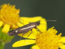 Scythris species