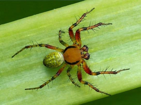 Araniella species