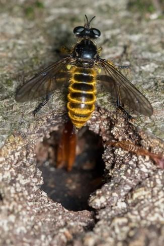 Ch.fimbriata female