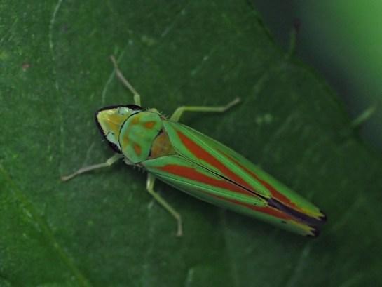 Graphocephala