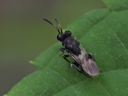 H.rufipes