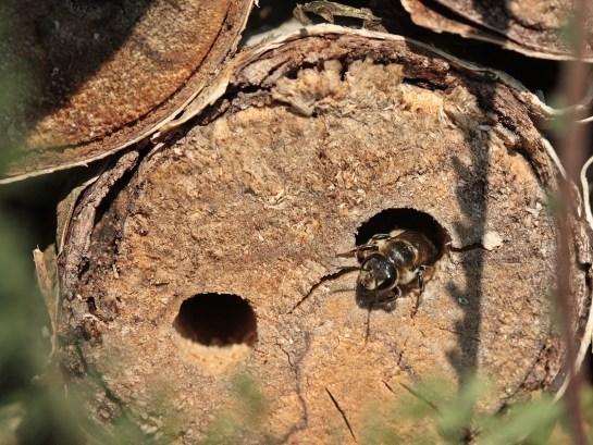 Megachile nest