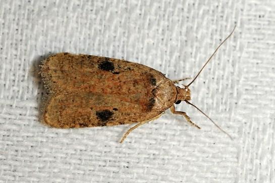 A.propinquella