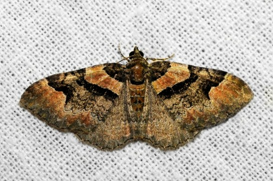 C.rubidata