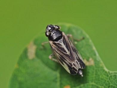 E.acuminatus