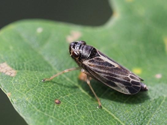Ev.acuminatus