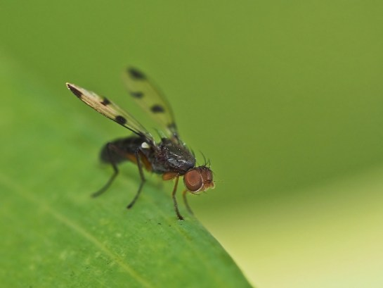 G.trimaculata