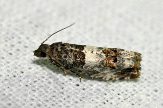 N.rosaecolana