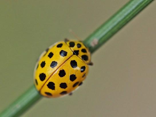 Propylea species