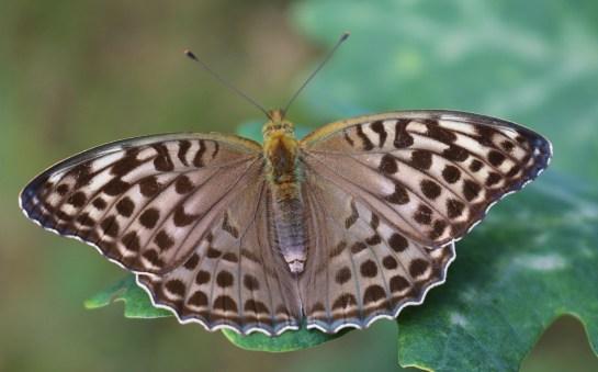 A.paphia valesina
