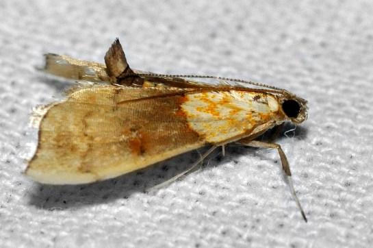 A.nemoralis