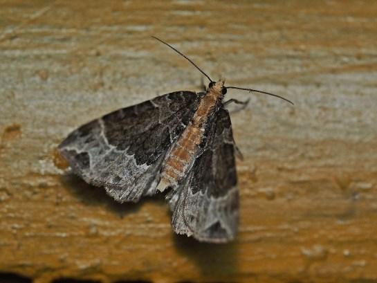 E.capitata