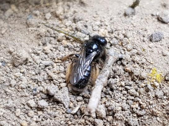 P.calcaratus