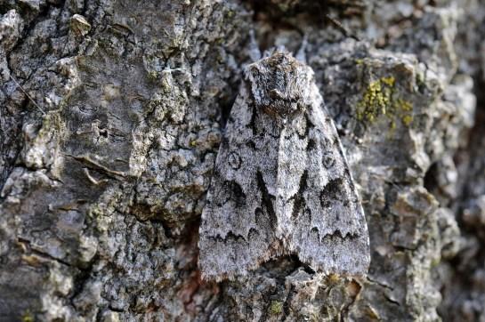 A.auricoma