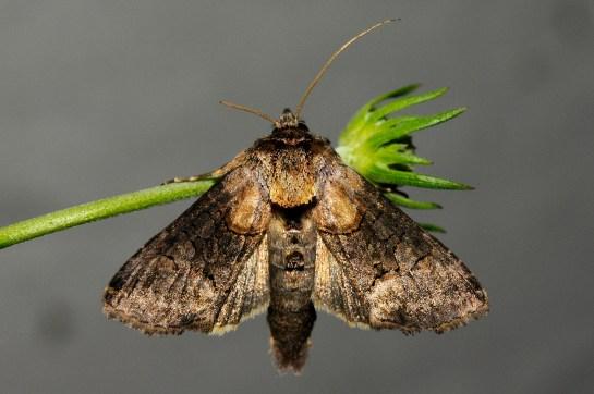 A.tripartita