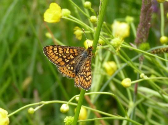 E.aurinia