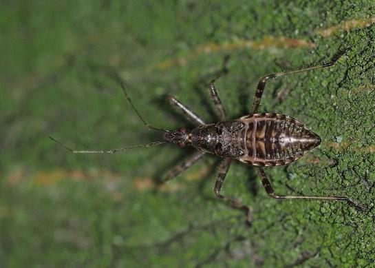 Himacerus nymph