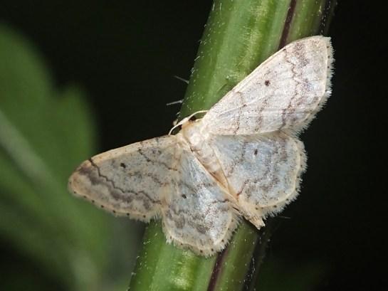 I.biselata