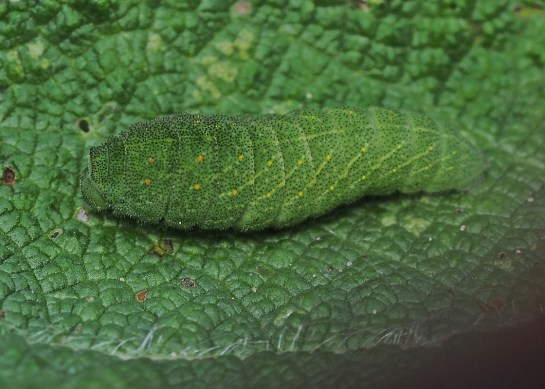 Iphiclides caterpillar
