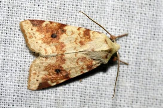 X.icteritia