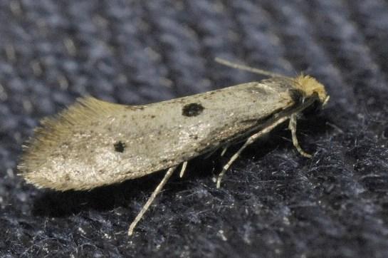 T.trinotella