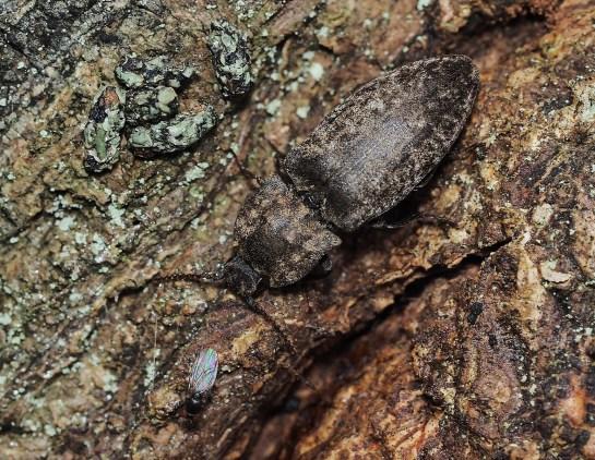 a.murinus