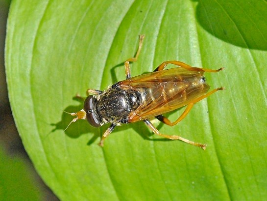 c.speciosa