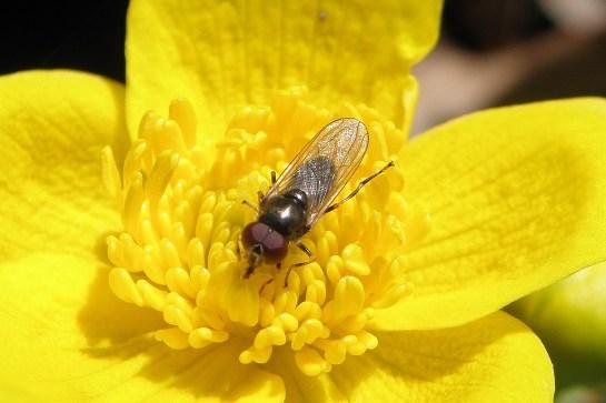 C.pagana