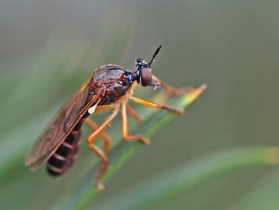 dioct.humeralis