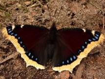 n.antiopa