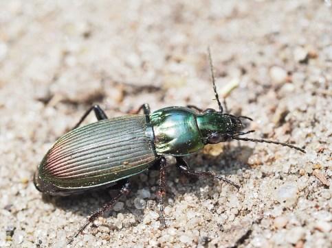 p.lepidus.
