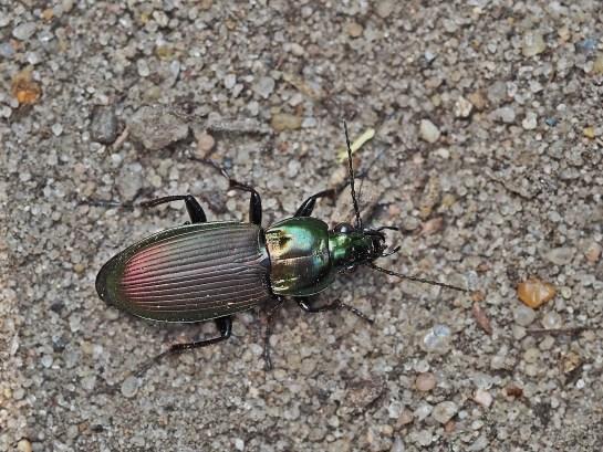p.lepidus