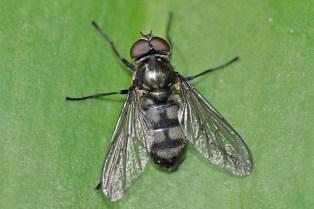 p.maculata male