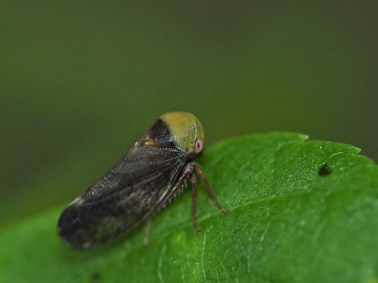 p.tiliae