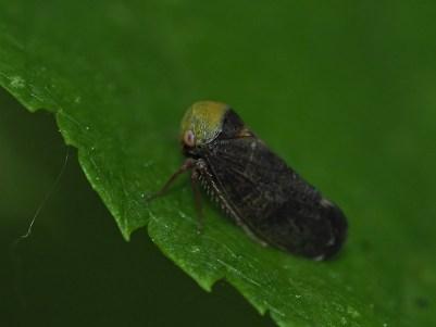 pediopsis