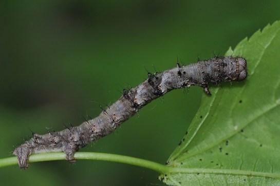 ph.pilosaria