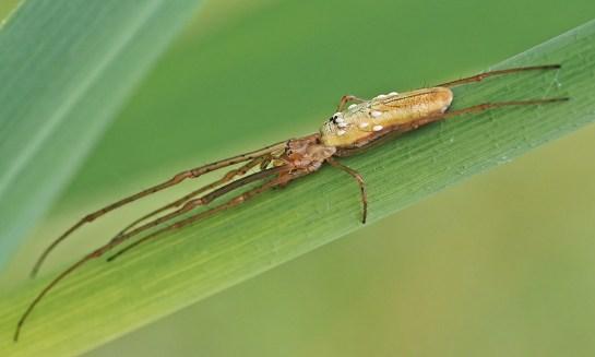 tetragnatha species