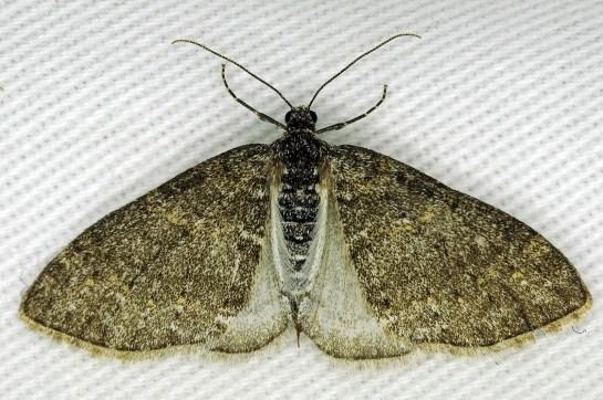 L.halterata
