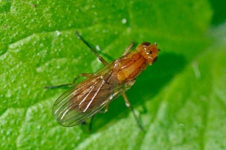 P.fimetaria