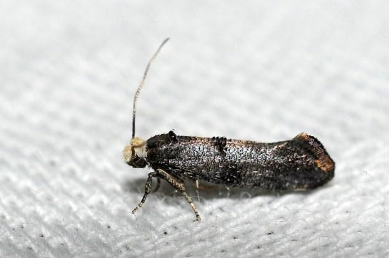 S.pyrella