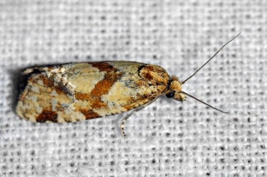 A.hartmanniana