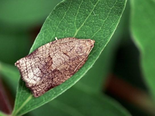 A.rosana