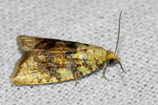 Al.loeflingiana